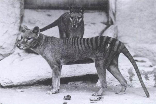 Two thylacines in Washington D.C. National Zoo / Credit Smithsonian Institution 1904